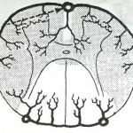 Κακή-αιμάτωση-του-νωτιαίου-μυελού1