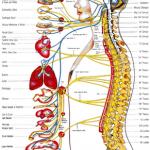 Αυτόνομο νευρικό σύστημα